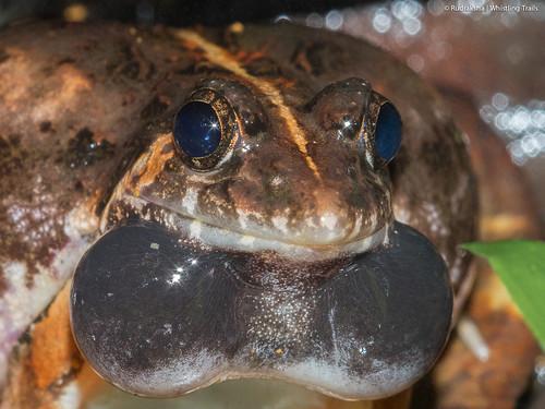 Reddish Burrowing Frog