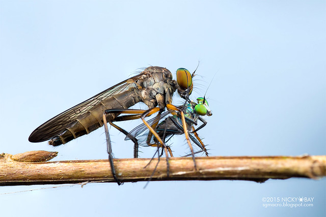 Robberfly (Asilidae) preying on Long-legged fly (Dolichopodidae) - DSC_5978