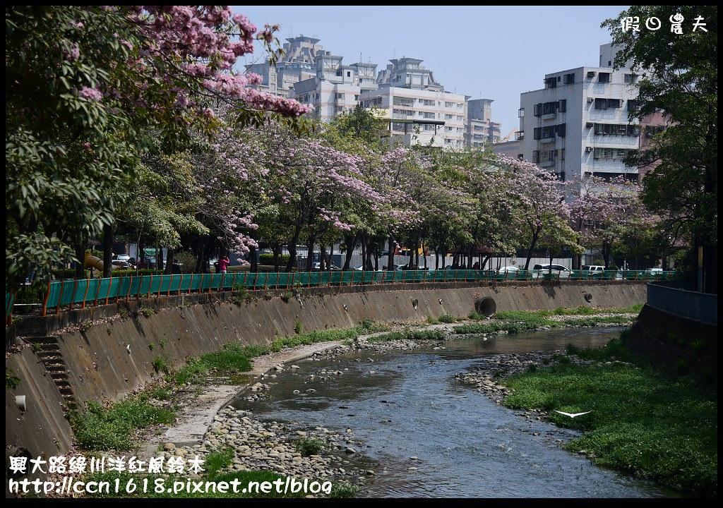興大路綠川洋紅風鈴木DSC_2260