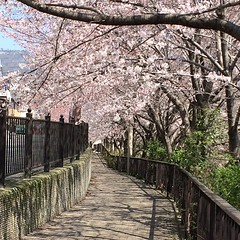 walking around the 'hood🌸 #sakura #minoo #japan #桜 #箕面 #大阪