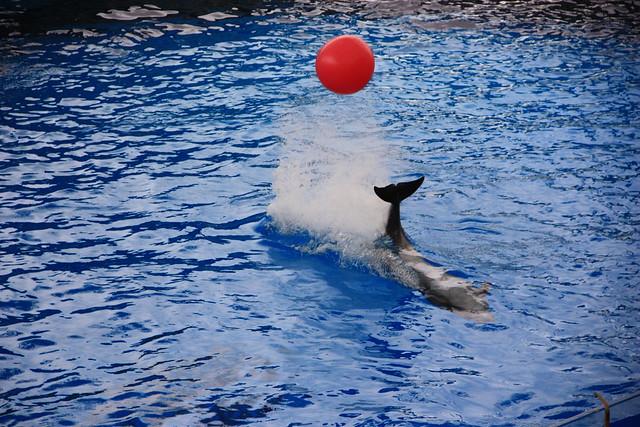 遠雄海洋公園海豚表演橋段包含踢足球、尾鰭擊球、離水上岸、搖呼拉圈、仰姿前鰭打招呼等,擬人化的動作只是娛樂遊客,卻是負面的生命教育。(圖文:黑潮海洋文教基金會)