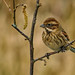 Female Reed Bunting by mrphotographica