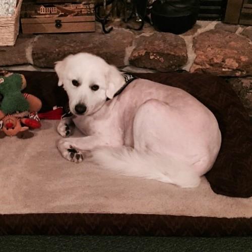Shiloh got his springtime haircut. #GreatPyrenees #dogsofinstagram