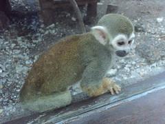animal, primate, squirrel monkey, fauna, new world monkey,