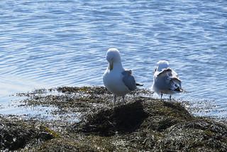 Herring Gull Mates