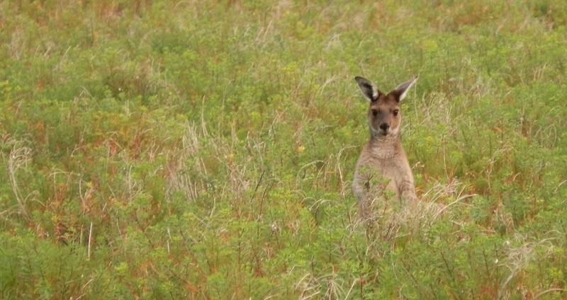 Kangaroo, Innes National Park