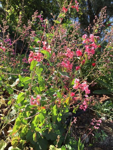 Flowering coral bells, monkeyflower, and clarkias in April garden