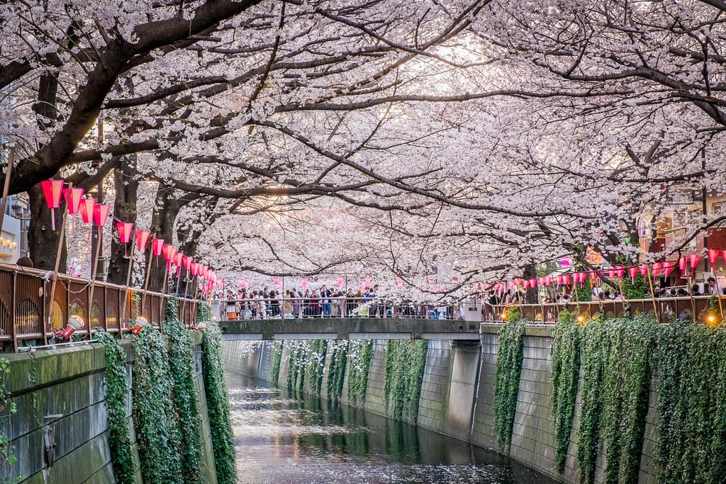 Naka-Meguro Cherry Blossom