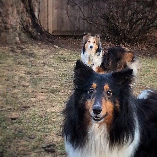 Jasper and Maggie lined it up for some cheese. #Sheltie