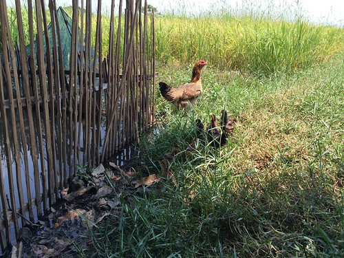 Roosters in the rice farm