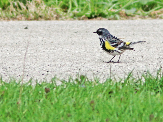 Yellow-rumped Warbler 3-20150422