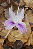 Kaempferia rotunda, Himalayan crocus