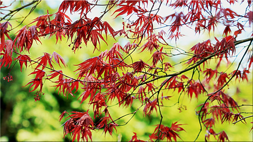 ~ Flowering Red Maple ~