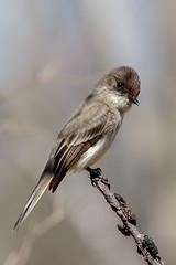 Eastern Kingbird, S.E. Michigan