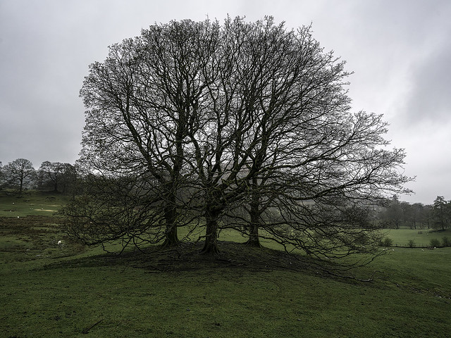 Rydal Oaks copy