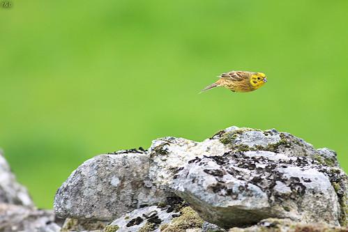 Escrevedeira-amarela (Emberiza citrinella)