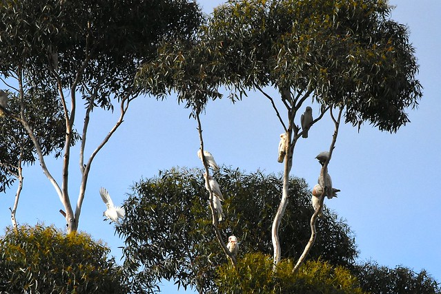 White cockatoos visited our street - 18 May 2016