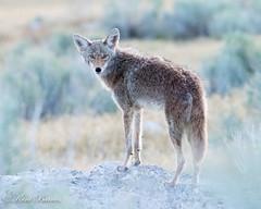 Antelope May 2016