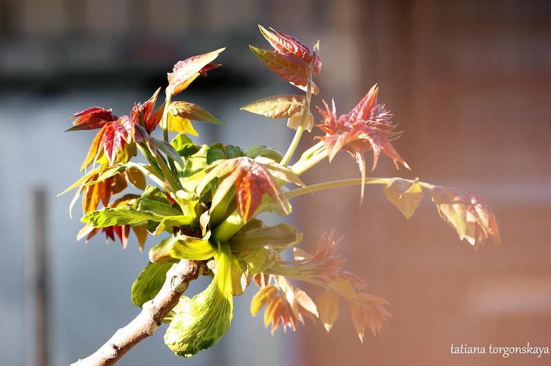 Молодая листва на ореховом дереве