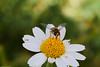 نحلة  bee