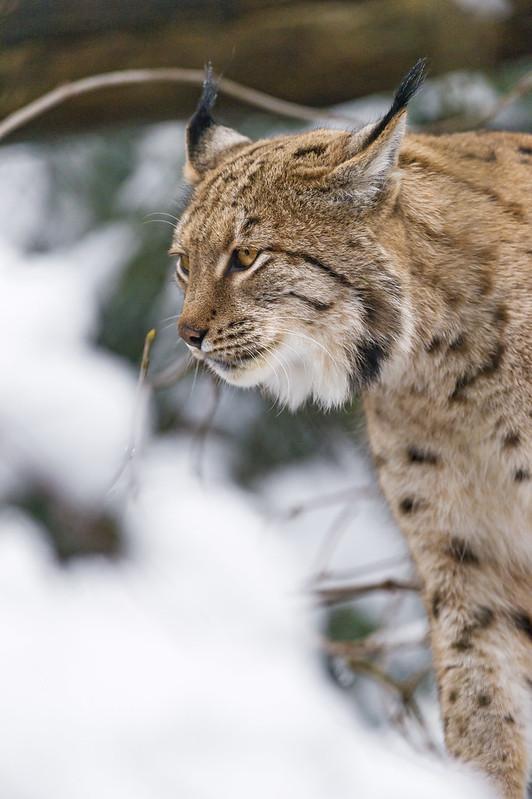 Profile portrait of a lynx