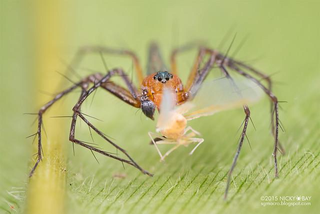 Lynx spider (Hamadruas sp.) - DSC_3015