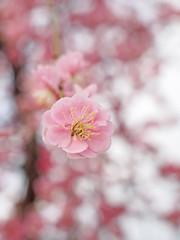 Ume blossom. 梅