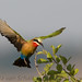 White-fronted Bee-eater by gerdavs