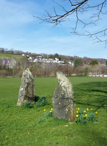 Gorsedd stones and spring daffodils