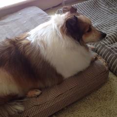 Tuckered girl, a morning of pampering is exhausting! #sheltie #shetlandsheepdog #dogstagram #dogsofinstagram #ilovemydogs