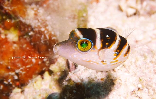 ハナキンチャクフグ幼魚