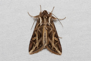 Dargida procinctus (Olive Green Cutworm Moth) Hodges # 10428
