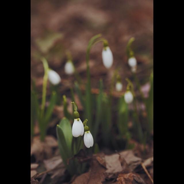 Подснежник4 🌱 #АптекарскийОгород #flower #spring
