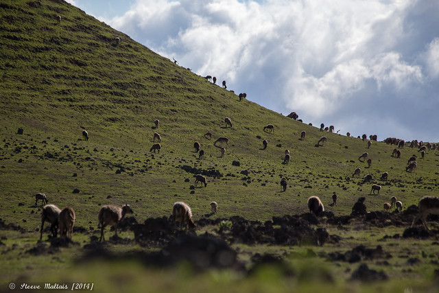 Wild sheeps, Big Island, Hawaii // Canon 6D