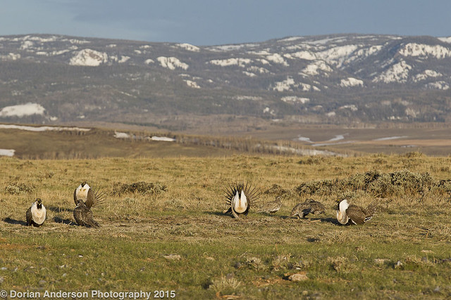 Greater sage-grouse birdscape