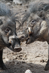 Two Warty Pigs