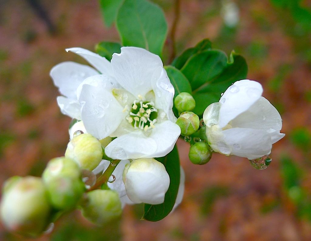 Common pearlbush:利休梅