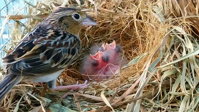 Florida grasshopper sparrow and chicks.   Photo credit: RSCF/www.rarespecies.org