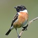 Common Stonechat Hengistbury Head tagged In Explore