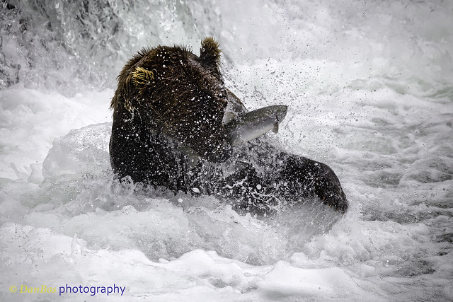 Bear catching salmon under the fall