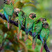 NE Brazil: Maroon-bellied Parakeets