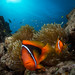 Tomato Anemonefish As Interested In Me As I Them, Okinawa, Japan by RCG Maru