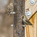 Small photo of Pine Siskins