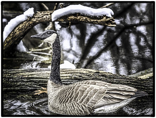 Canada Goose on Winter Pond