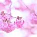 Sakura, No. 1