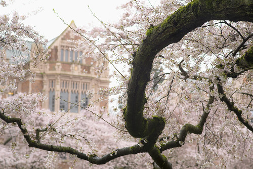 tree campus cherry washington spring university blossom 2015 d610