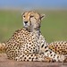 Cheetah by Burrard-Lucas Wildlife Photography