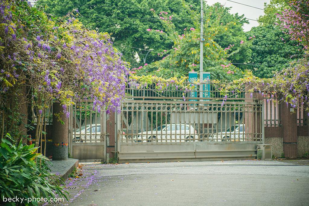 2015.Mar Wisteria @Tucheng 紫藤花,新北土城