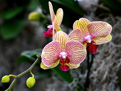 Phalaenopsis Passion
