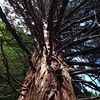 Old Pine, Botanic Gardens, Dunedin, NZ, 1:20pm Tuesday March 10.